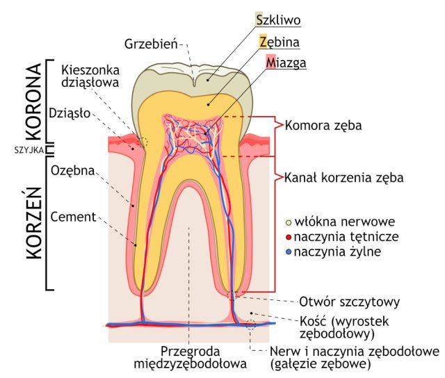 Jak zbudowany jest ząb