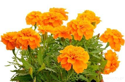Kwiaty rabatowe - pielęgnacja